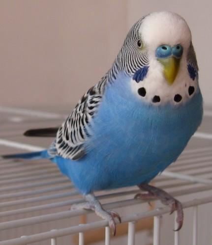 Шаблон вопроса раздела: болезни волнистых попугаев вид: волнистый попугайчик пол попугая: самка возраст попугая