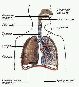 Гистология: дыхательная система