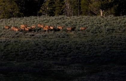 Йеллоустоун: вслед за бизонами, началось массовое бегство лосей.